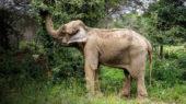 Dumba elefant Caldes